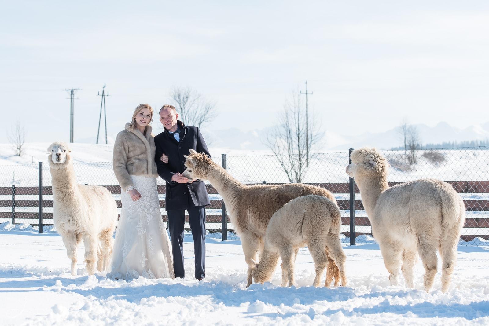 Sesja ślubna z alpakami, Osada Chochołowska